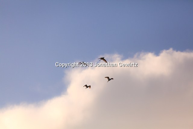 A group of four Great Egrets (Ardea alba) flying in picturesque formation in Everglades National Park, Florida. (Jonathan Gewirtz   jonathan@gewirtz.net)