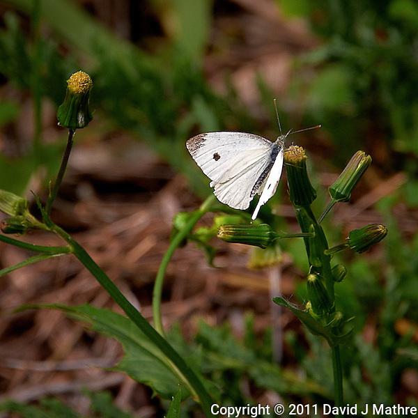 White Moth. Summer in New Jersey. Image taken with a Nikon D700 and 28-300 mm VR lens (ISO 200, 300 mm, f/8, 1/160 sec). (David J Mathre)
