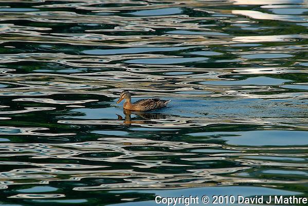 Female Mallard Duck on Lake Chelan. Image taken with a Nikon D200 and 80-400 mm VR lens (ISO 400, 400 mm, f/9, 1/320 sec). (David J. Mathre)