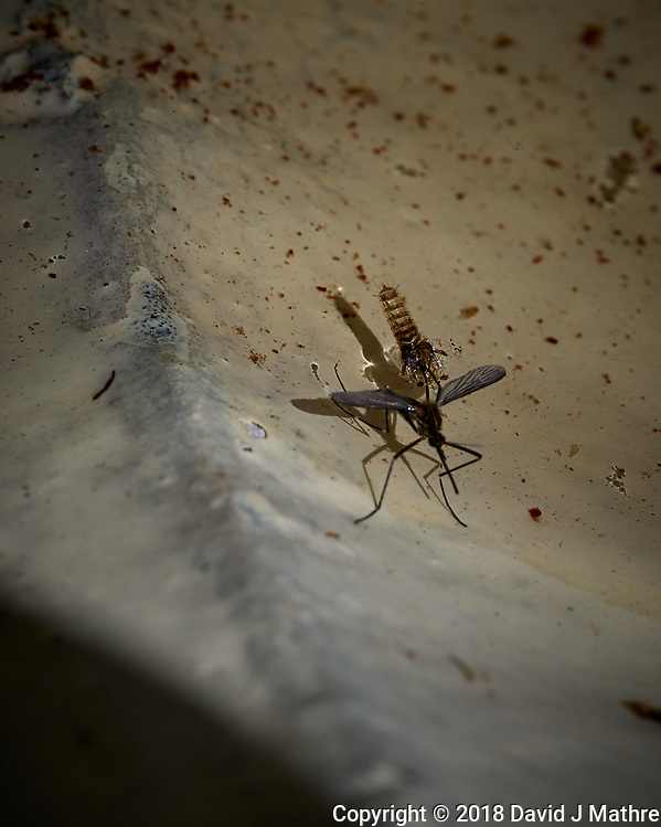 Mosquito emerging from the water. Image taken with a Leica TL2 camera and 60 mm f/2.8 macro lens (David J Mathre)