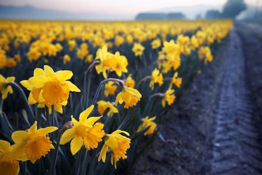 Daffodil field, Skagit Valley, Mount Vernon, Washington State, USA (Brad Mitchell)
