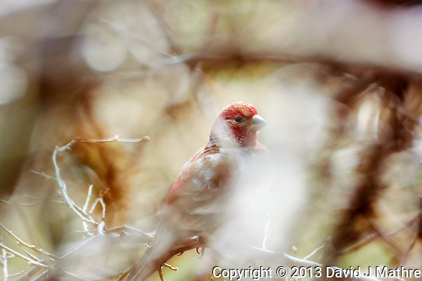 Male House Finch. Spring Nature in New Jersey. Image taken with a Nikon 1 V2, FT1 adapter, and 80-400 mm VRII lens (ISO 160, 400 mm, f/5.6, 1/160 sec). Hand-held and manual focus. (David J Mathre)