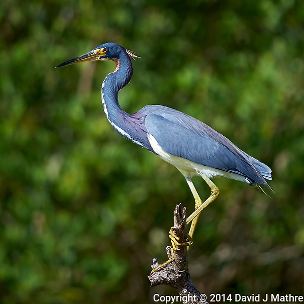 Tricolored Heron on a Branch. Along Biolab Road at Merritt Island National Wildlife Refuge in Florida. Image taken with a Nikon Df camera and 300 mm f/4 lens (ISO 100, 300 mm, f/4, 1/1250 sec). (David J Mathre)
