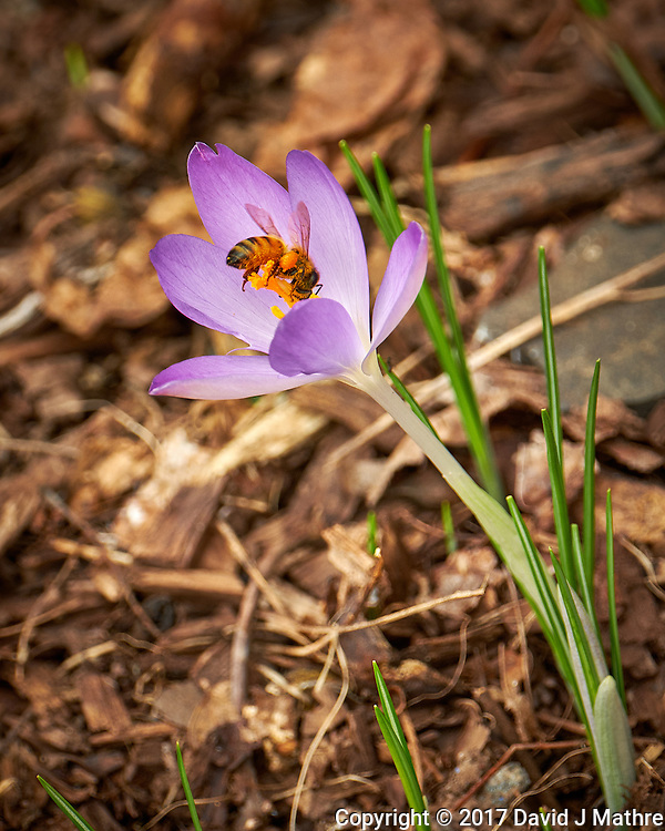 First Hint of Spring -- Early crocus flower with a honey bee across the street. Winter nature in New Jersey. Image taken with a Fuji X-T2 camera and 100-400 mm OIS lens (ISO 200, 235 mm, f/5.6, 1/125 sec) (David J Mathre)