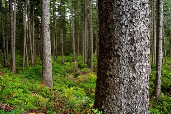 Old growth coastal forest on Washington Coast, Scotts Bluff, South Coast Trail, Olympic National Park, Washington, USA (Brad Mitchell Photography)
