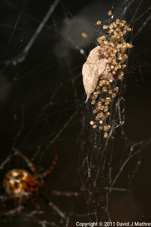 Baby Spiders Hatching. Summer Nature in New Jersey. Image taken with a Nikon D3 and 105 mm f/2.8 VR macro lens and TC-E III 20 teleconverter (ISO 200, 210 mm, f/16, 1/60 sec) with SB-900 flash. Raw image processed with Capture One Pro 6, Nik Define 2, and Photoshop CS5. (David J Mathre)