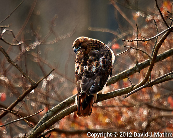 Red-tailed Hawk (?). Backyard Autumn Nature in New Jersey. Image taken with a Nikon D3x camera and 600 mm f/4 VR lens (ISO 200, 600 mm, f/4, 1/200 sec). (David J Mathre)