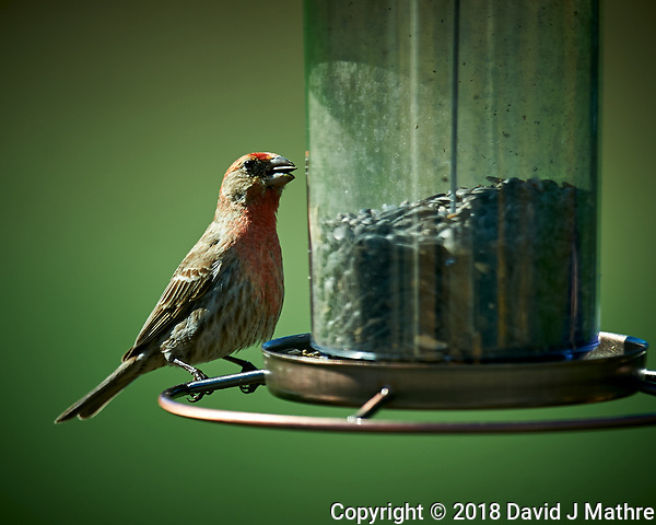 House Finch at a Bird Feeder. Image taken with a Nikon D4 camera and 600 mm f/4 VR lens (ISO 100, 600 mm, f/4, 1/400 sec) (David J Mathre)