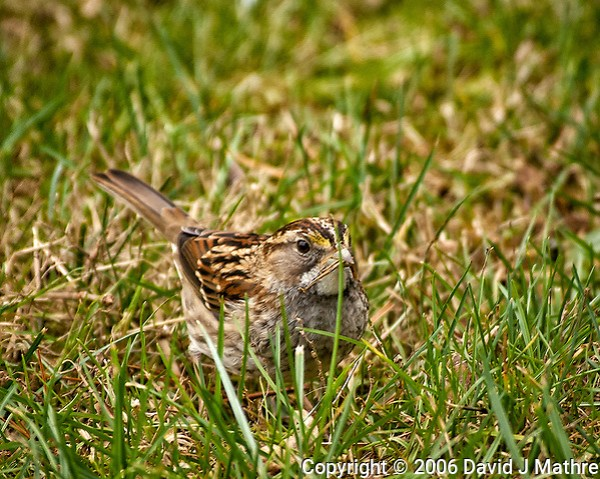 White-throated Sparrow in the grass. Backyard winter nature in New Jersey. Image taken with a Nikon D2xs camera and 80-400 mm VR lens (ISO 400, 400 mm, f/6, 1/160 sec) (David J Mathre)
