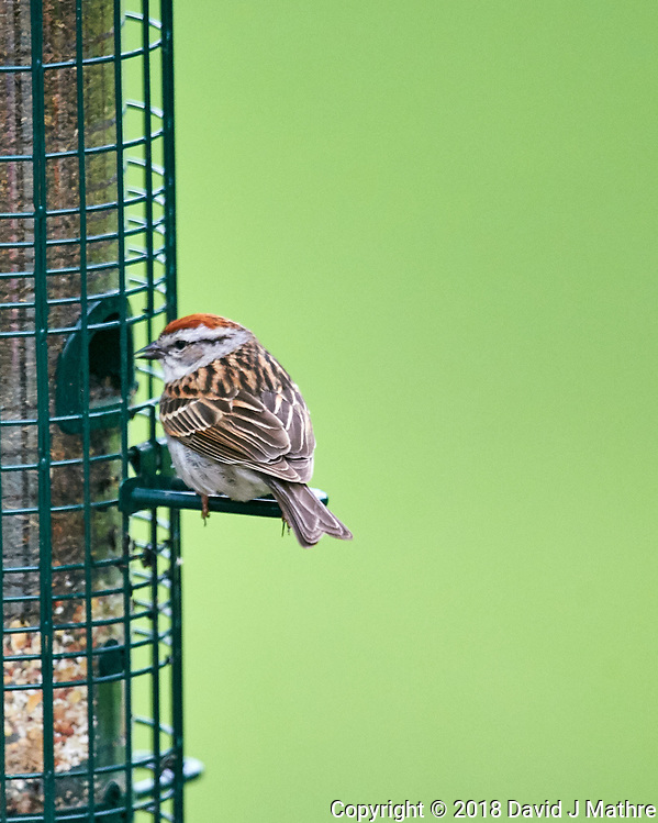 Chipping Sparrow at the Bird Feeder. Image taken with a Nikon D4 camera and 600 mm f/4 VR lens (David J Mathre)