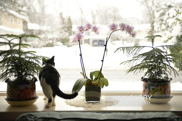 Hillary cat looking out window with orchids and evergreen tree plants in it on snowy morning, February 5, 2014, Merrick, New York, USA (Ann Parry/Ann Parry, ann-parry.com)