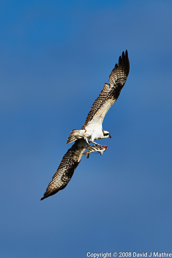 Osprey with Fish for Breakfast at Fort DeSoto Park in St. Petersburg, Florida. Image taken with a Nikon D700 and 300 mm f/2.8 VR lens with TC-E 20 II teleconverter (ISO 200, 600 mm, f/8, 1/1600 sec). (David J Mathre)