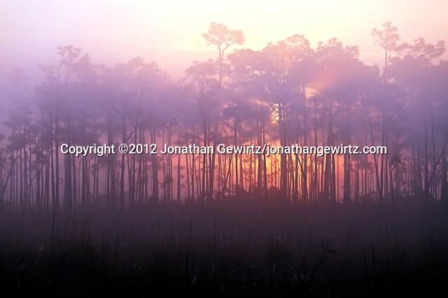 The sun rises behind a pine hammock on a foggy morning in Everglades National Park, Florida. (© 2012 Jonathan Gewirtz / jonathan@gewirtz.net)