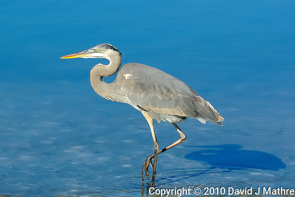 Great Blue Heron. Image taken with an Nikon D2xs and 80-400 mm VR lens (ISO 400, 120 mm, f/8, 1/1000 sec). (David J Mathre)