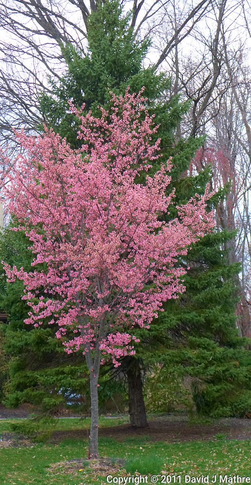Cherry Tree in Bloom. Spring in New Jersey. Image taken with a Leica D-Lux 5 (ISO 100, 14.9 mm, f/3, 1/125 sec) (David J Mathre)