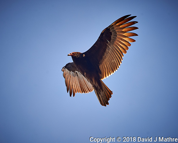 Turkey Vulture in the Late Afternoon Sun. Image taken with a Nikon D4 camera and 80-400 mm VRII telephoto zoom lens (ISO 280, 400 mm, f/5.6, 1/400 sec). (David J Mathre)