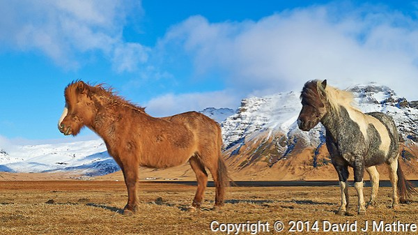 Pair of Friendly Icelandic Horses Near the End of Winter. Image taken with a Nikon Df camera and 24 mm f/1.4G lens (ISO 100, 24 mm, f/5.6, 1/800 sec) (David J Mathre)