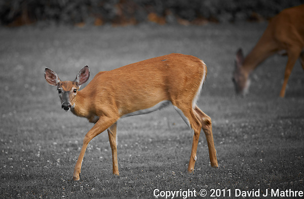 Deer in New Jersey. Image taken with a Nikon D3x and 500 mm f/4 lens (ISO 400, 500 mm, f/4, 1/250 sec). Image processed with Capture One 6 Pro. (David J Mathre)