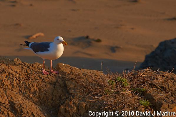 Herring Gull at Piedras Blancas Beach, Central California Coast. Image taken with a Nikon D3x and 70-300 mm VR lens (ISO 400, 300 mm, f/8, 1/160 sec). (David J Mathre)