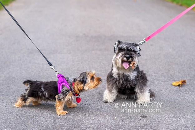 "Old Westbury, New York, U.S. September 1, 2019. L-R, Rosie the Yorkshire Terrier appears to be looking at the dried leaf on Heidi the Mini Schnauzer during ""Fidos after Five"" when leashed dogs are permitted in designated garden areas, from 5:00PM - 8:00 PM at historic Old Westbury Gardens in Long Island. (© 2019 Ann Parry/Ann-Parry.com)"