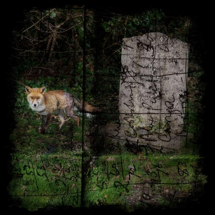 Fox in a graveyard (Viveca Koh ARPS)