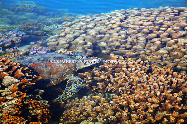 A Green Turtle swims over coral in the shallow of Turtle Reef in Talbot Bay on the Kimberley coast of Western Australia. (Annabelle Sandes/© Annabelle Sandes | Kimberley Media)