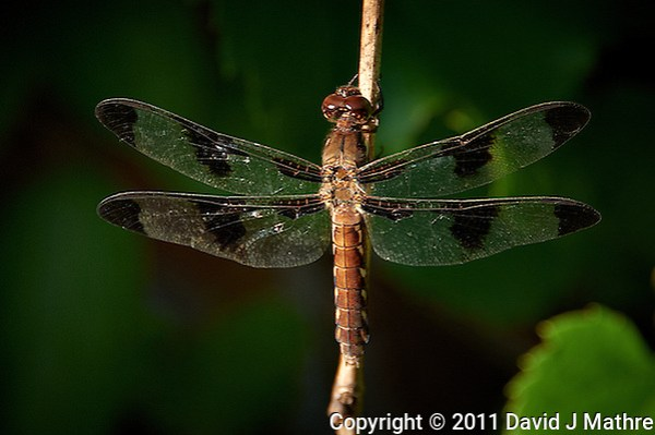 Dragonfly -- Summer in New Jersey. Image taken with a Nikon D700 and 28-300 mm lens (ISO 200, 300 mm, f/5.6, 1/200 sec). Raw image processed with Capture One Pro 6, Nik Define 2, and Photoshop CS5. (David J Mathre)