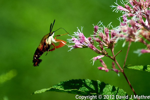 Clearwing Hummingbird Moth on a Joe Pye Weed Bloom. Summer Nature in New Jersey. Image taken with a Nikon D4 and 300 mm f/2.8 VR lens (ISO 100, 300 mm, f/2.8, 1/2000 sec). (David J Mathre)