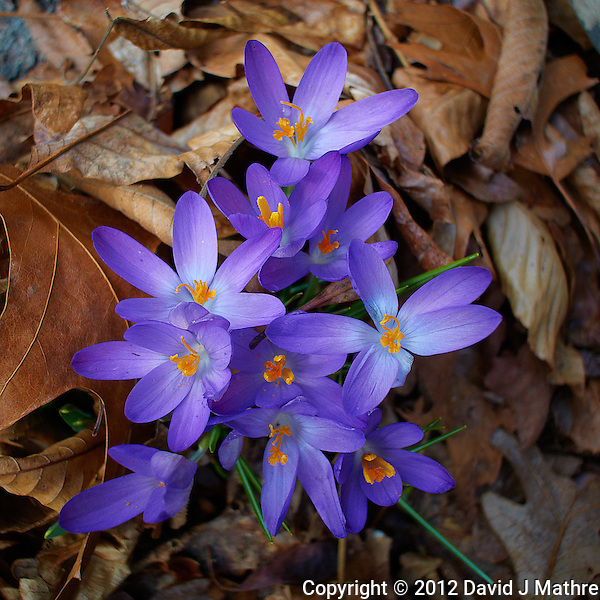 Early Purple Crocuses -- Spring is Coming. Image taken with a Nikon 1 V1 and 10 mm lens (ISO 100, 10mm, f/3.2, 1/160 sec). (David J Mathre)