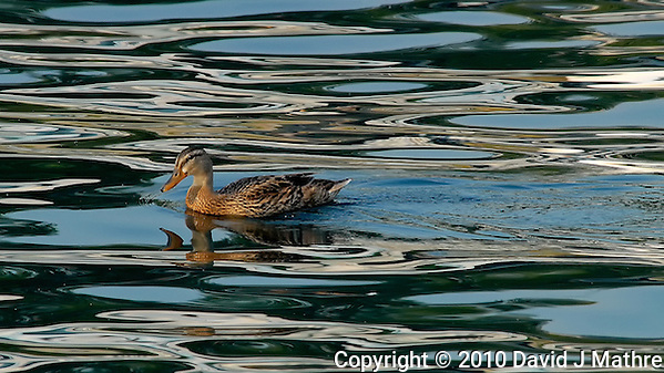 Female Mallard Duck on Lake Chelan. Image taken with a Nikon D200 and 80-400 mm VR lens (ISO 400, 400 mm, f/9, 1/320 sec). (David J. Mathre)