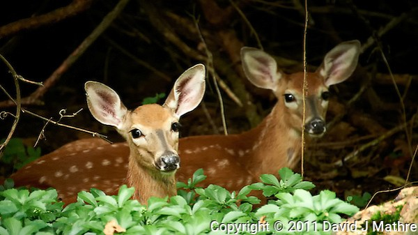 Pair of Resting Fawns. Backyard Nature in my Backyard -- Summer in New Jersey. Image taken with a Nikon D700 and 28-300 mm lens (ISO 1600, 300 mm, f/5.6, 1/30 sec). Raw image processed with Capture One Pro 6, Nik Define 2, and Photoshop CS5. (David J Mathre)