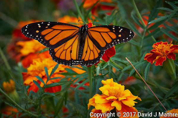 Monarch Butterfly on a Marigold Flower. Autumn Backyard Nature in New Jersey. Image taken with a Fuji X-T2 camera and 100-400 mm OIS telephoto zoom lens (ISO 12800, 400 mm, f/13, 1/1800 sec). (David J Mathre)