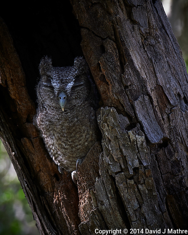 Screech Owl Dozing. Dos Vandas Ranch in Southern Texas. Image taken with a Nikon D4 camera and 500 mm f/4 VR lens. (David J Mathre)