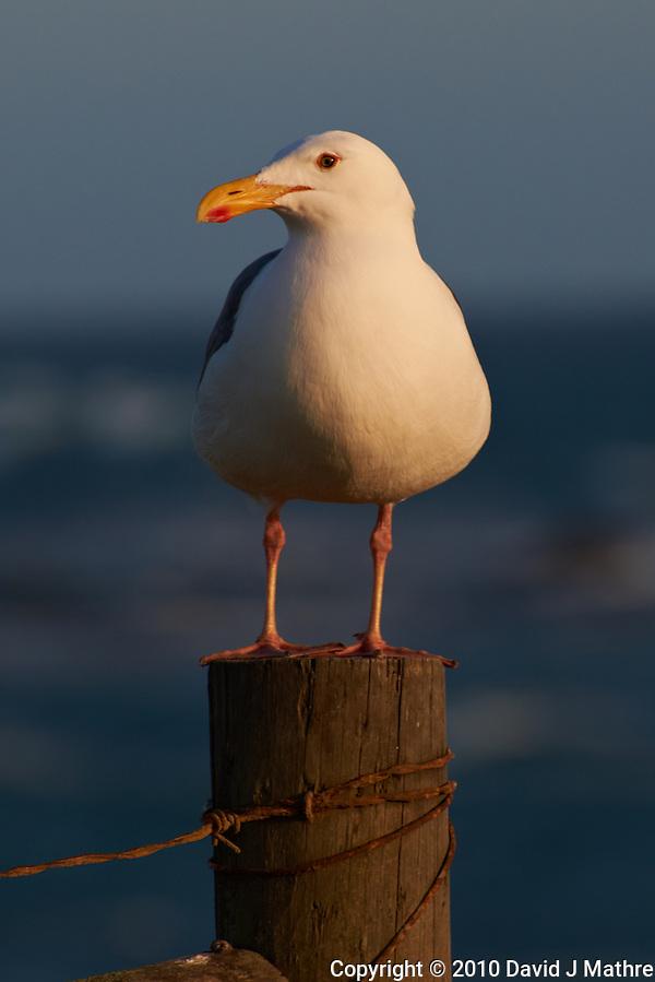 Herring Gull at Piedras Blancas Beach, Central California Coast. Image taken with a Nikon D3x and 70-300 mm VR lens (ISO 100, 300 mm, f/8, 1/500 sec). (David J Mathre)