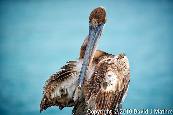 Brown Pelican Preening in Kralendijk Bonaire. Image taken with a Nikon D3s and 70-300 mm VR lens (ISO 200, 240 mm, f/5.6, 1/640 sec). (David J Mathre)