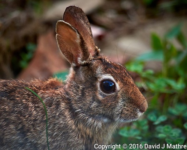 Rabbit in my wildflower garden. Backyard spring in New Jersey. Image taken with a Nikon D810a camera and 600 mm f/4 VR lens (ISO 1600, 600 mm, f/4, 1/1000 sec). (David J Mathre)