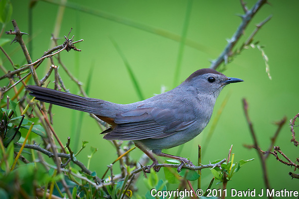 Grey Catbird. Early Summer Nature in New Jersey. Image taken with a Nikon D300 and 600 mm f/4 lens (ISO 400, 600 mm, f/4, 1/200 sec). Raw image processed with Capture One Pro 6, Focus Magic, Nik Define 2, and Photoshop CS5. (David J Mathre)