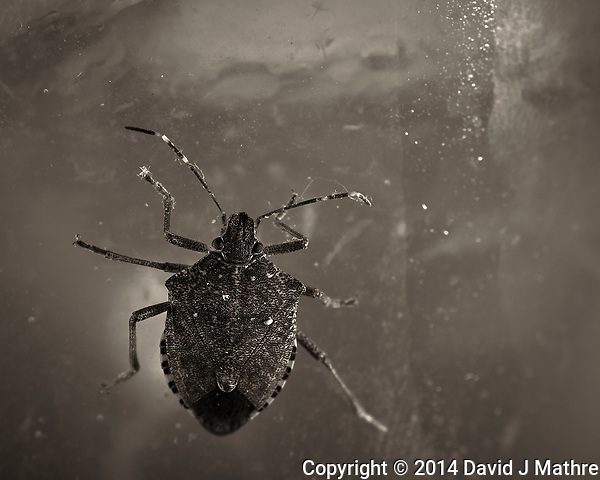 Brown Marmorated Stink Bug - Indoor Winter Nature. Image taken with a Nikon Df and 105 mm f/2.8 VR macro lens (ISO 100, 105 mm, f/16, 1/60 sec) and ring-flash. Image converted to B&W with Capture One 7 Pro. (David J Mathre)