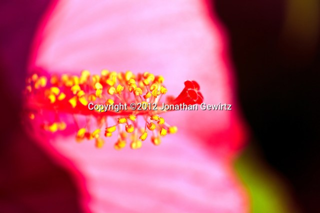 Closeup view of the stamens and pistil of a red Hibiscus flower. (© 2012 Jonathan Gewirtz / jonathan@gewirtz.net)