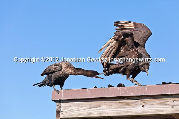 A Double-crested Cormorant (Phalacrocorax auritus) chases away an American Black Vulture (Coragyps atratus) on the Anhinga Trail in Everglades National Park, Florida. (Jonathan Gewirtz, jonathan@gewirtz.net)