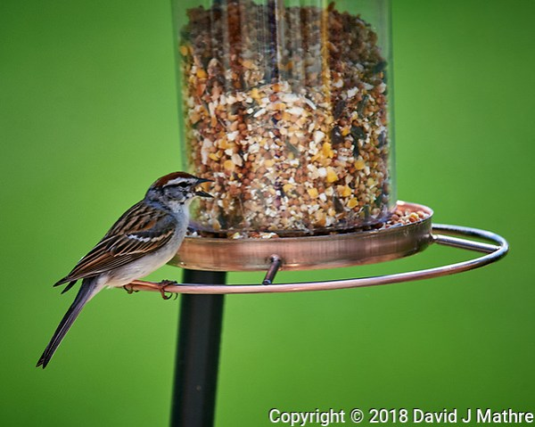 Chipping Sparrow at the Bird Feeder Image taken with a Nikon D4 camera and 600 mm f/4 VR lens. (David J Mathre)