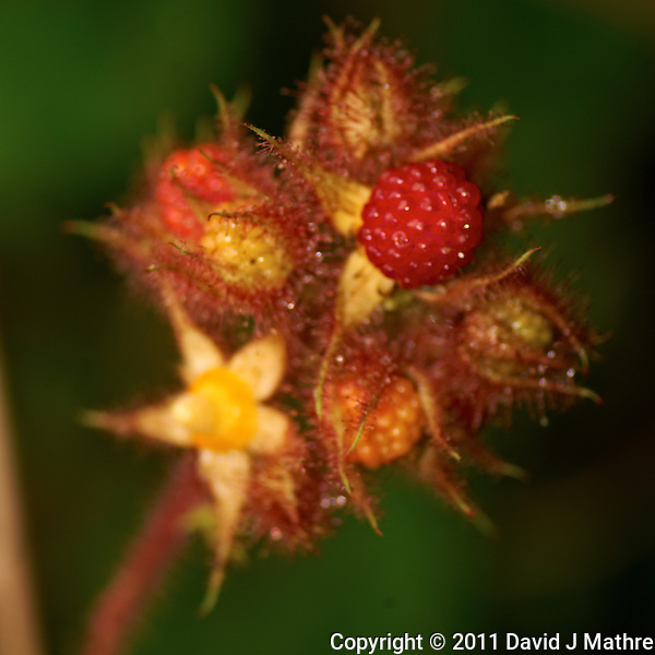 Wild Raspberry Cluster. Early Summer Backyard Nature in New Jersey. Image taken with a Nikon D3x and 105 mm f/2.8 VR macro lens + TC-E III 20 teleconverter (ISO 100, 210 mm, f/6, 1/60 sec) with SB900 flash. Raw image processed with Capture One Pro 6 and Photoshop CS5. (David J Mathre)