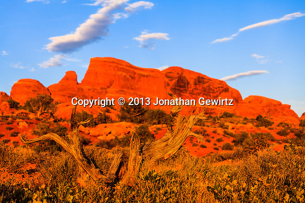 A gnarled desert tree bathes in warm light from the setting sun in Arches National Park, Utah. (Jonathan Gewirtz   jonathan@gewirtz.net)