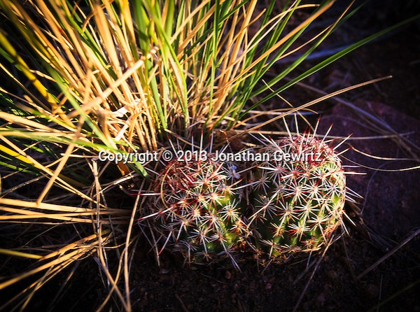 Closeup view of two, small barrel cacti in Hayden Green Mountain Park in Lakewood, Colorado. (Jonathan Gewirtz   jonathan@gewirtz.net)