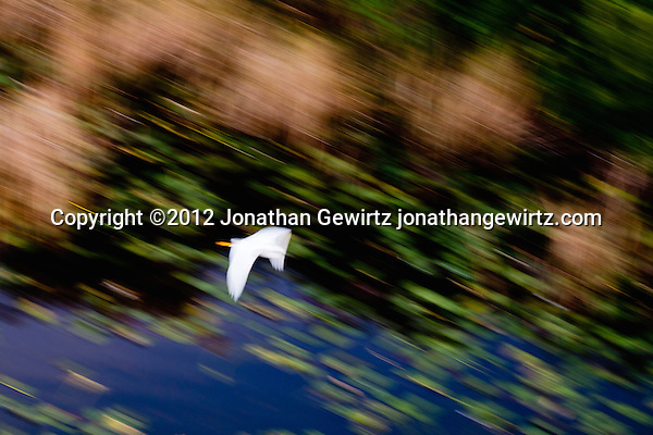 A white egret flies against the colorful natural background of a pond and green vegetation in the Florida Everglades. (© Jonathan Gewirtz, jonathan@gewirtz.net)