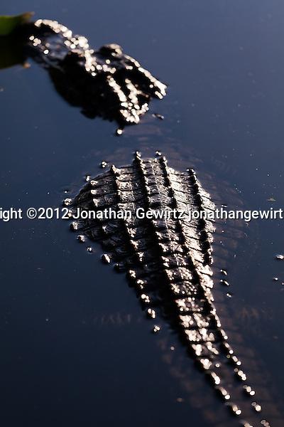 An American Alligator (Alligator mississippiensis) rests in a pond or slough in the Shark Valley section of Everglades National Park, Florida. (© 2012 Jonathan Gewirtz / jonathan@gewirtz.net)