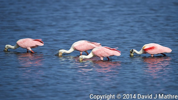 Four Roseate Spoonbills Feeding in a Mangrove Pond. Merritt Island National Wildlife Refuge in Florida. Image taken with a Nikon D800 camera and 400 mm f/2.8 VR lens (ISO 100, 400 mm, f/4, 1/3200 sec). (David J Mathre)