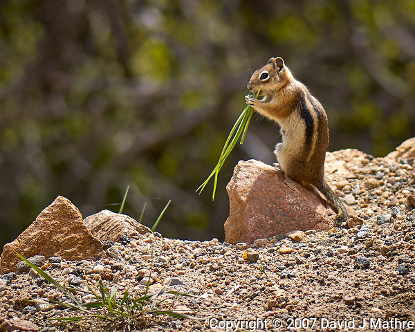 Chipmunk chewing on some grass. Rocky Mountain National Park. Image taken with a Nikon D2xs camera and 105 mm f/2.8 VR macro lens (ISO 100, 105 mm, f/2.8, 1/750 sec). (David J Mathre)