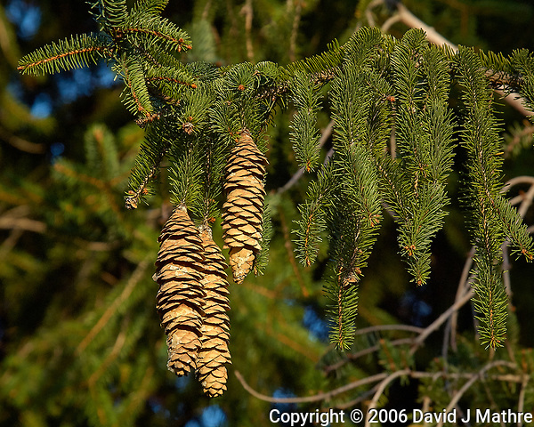 Pine cones in the afternoon sun. Backyard autumn nature in New Jersey. Image taken with a Nikon D2xs camera and 80-400 mm VR lens (ISO 400, 250 mm, f/7, 1/200 sec). (David J Mathre)