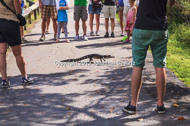 A juvenile American Alligator (Alligator mississippiensis) crosses the Ahinga Trail in Everglades National Park in front of a small crowd of park visitors. (Jonathan Gewirtz   jonathan@gewirtz.net)